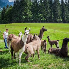 A day at the Llama farm