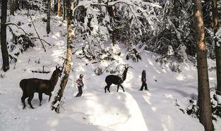 Winterliches Lama Trekking am Wilden Kaiser